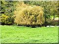 SU0826 : Willow on the Ebble by Jonathan Kington