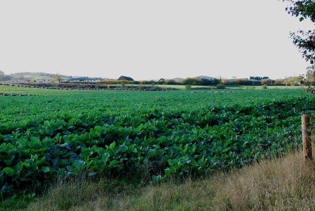 A Field of Kale on Fauld Lane