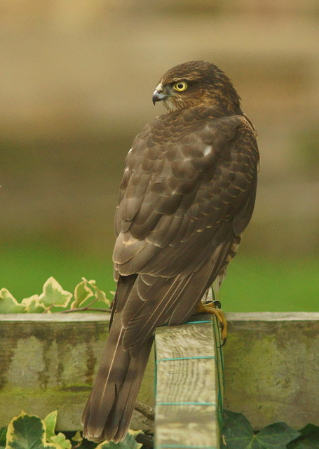 few_Female Sparrowhawk © Peter Trimming :: Geograph Britain and Ireland