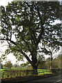 SJ6867 : Ancient oak tree in Bostock Road by Dr Duncan Pepper