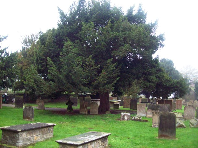 Yew Tree in the Cemetery of Ault Hucknall Church