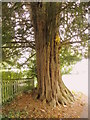 ST7413 : Yew tree, Church of St Thomas a Becket by Maigheach-gheal