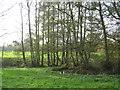 SJ6166 : A stand of poplars delineate the course of Shays Lane Brook by Dr Duncan Pepper
