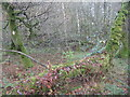 NX6764 : Galloway rainforest by M J Richardson