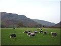 NY2514 : Grazing Herdwick sheep at Rosthwaite by Karl and Ali