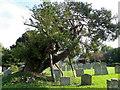 SU6431 : Yew tree, St Peter's Churchyard by Maigheach-gheal