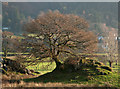 NY3308 : Trees on rock outcrops, Grasmere by Trevor Littlewood