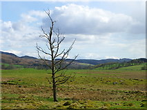 NN9952 : Lone tree near Tulliemet by Maigheach-gheal