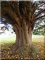 SU1015 : Yew tree, St George's Churchyard by Maigheach-gheal