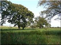 NY0265 : Hedgerow trees near Caerlaverock by Humphrey Bolton