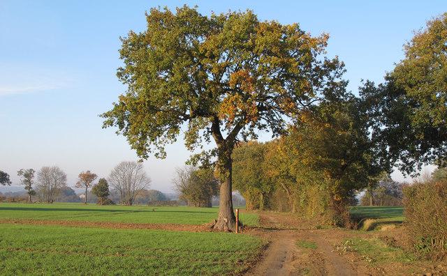 Oak, footpath marker, farm track