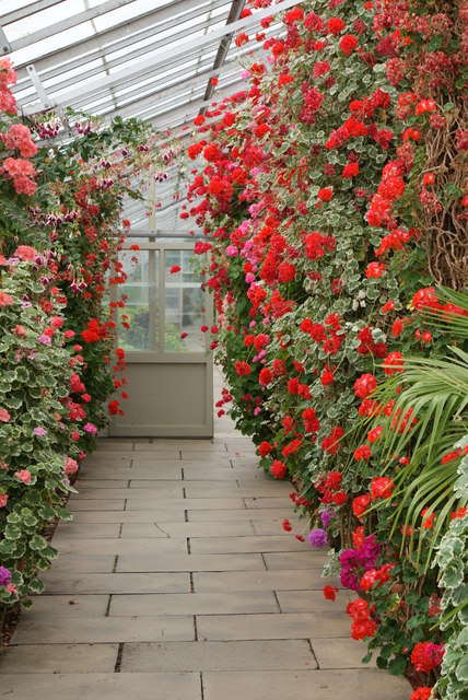 Geraniums trained up the north wall of the lean-to greenhouse
