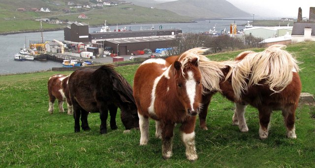 Shetland ponies by Scalloway fish pier