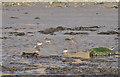 TA1281 : Redshanks on Filey beach by Pauline E