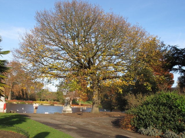 Sessile oak as war memorial, Kew Gardens