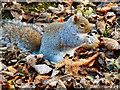 SD7406 : Sciurus carolinensis at Moses Gate Country Park by David Dixon
