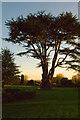 TQ2629 : Cedar at sunset by Ian Capper