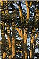 TQ2629 : Cedar at Nymans by Ian Capper