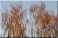 TQ2629 : Golden birches? by Ian Capper