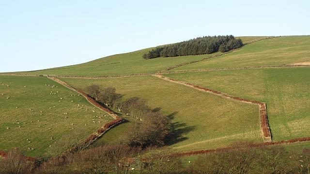 New beech hedges