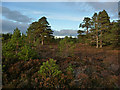NH9207 : Heather and pine in Rothiemurchus forest by Phil Champion