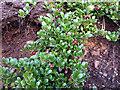 NH9505 : Cowberry (Vaccinium vitis-idaea) by Phil Champion