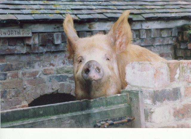 Tamworth Pig at Acton Scott