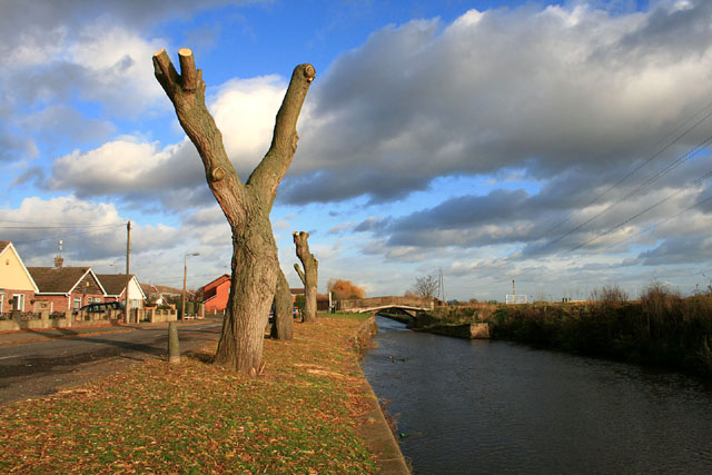 Newly pollarded willows beside the Beeston Canal