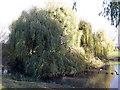 TQ3677 : Willows in Folkestone Gardens by Stephen Craven