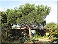 TQ3377 : Chumleigh Gardens: pine tree by Stephen Craven