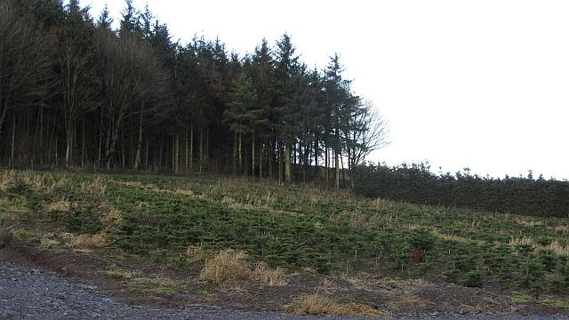 Christmas tree plantation, Cockburn Law