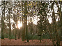 SP8302 : Late afternoon sunlight in woodland near to Barnes's Grove     by Peter S