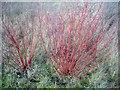 SE3521 : Tatarian dogwood (Cornus alba) (2) by Mike Kirby
