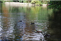 TM1645 : Ducks on the lake, Christchurch Park by N Chadwick
