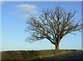 SK5922 : Dying oak with nests by Alan Murray-Rust