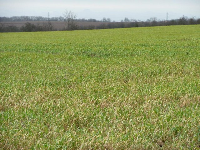 Cereal crop south of New Lane