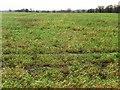 SE4832 : Winter cereals on the edge of Sherburn in Elmet by Christine Johnstone