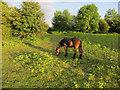 SO3829 : Exmoor Pony on Ewyas Harold Common by Hugh Venables