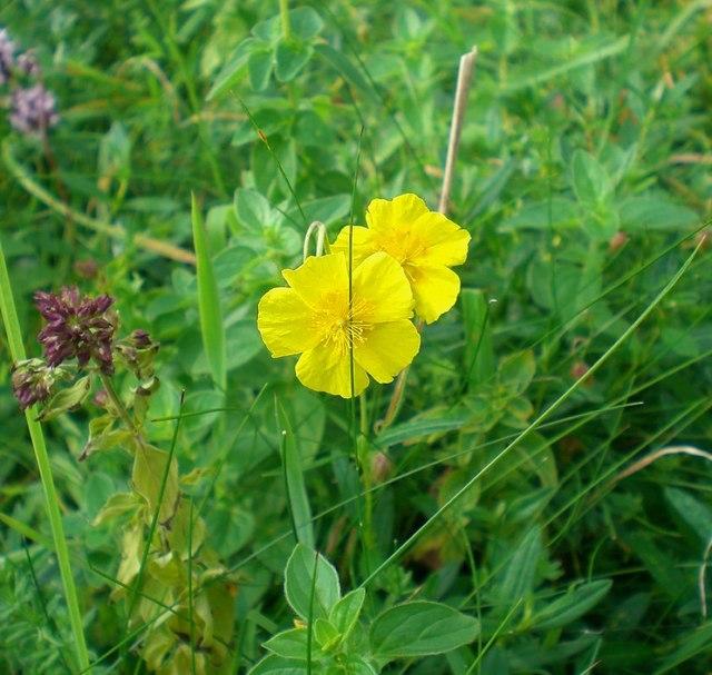 Rockrose flowering among marjoram