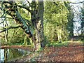 SK5656 : Forest path, with impressive horse chestnut tree by Antony Dixon