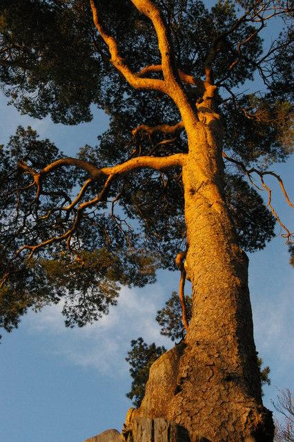 Wakehurst Place: Scots Pine, winter light