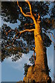 TQ3331 : Wakehurst Place: Scots Pine, winter light by Christopher Hilton