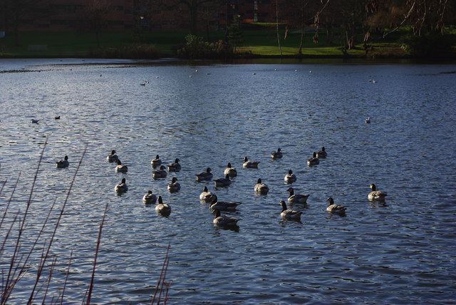 Barnacle geese on the lake at the Vale, Edgbaston