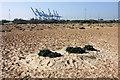 TM2831 : Sea kale on Landguard Common by Simon Mortimer
