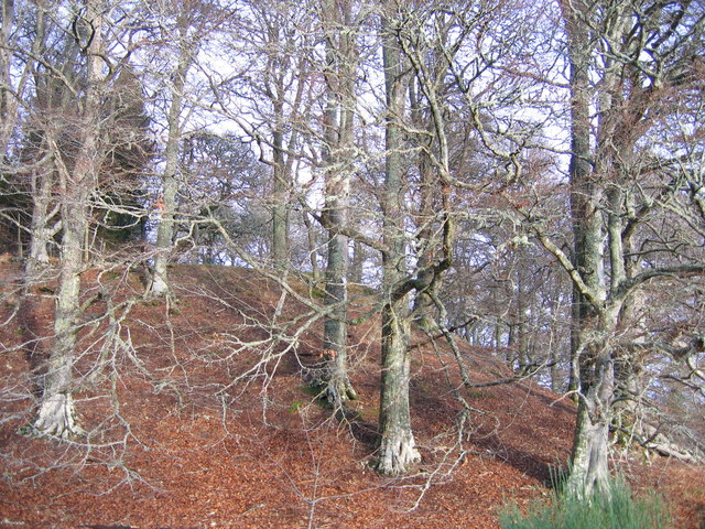 Beech trees on Castlehill