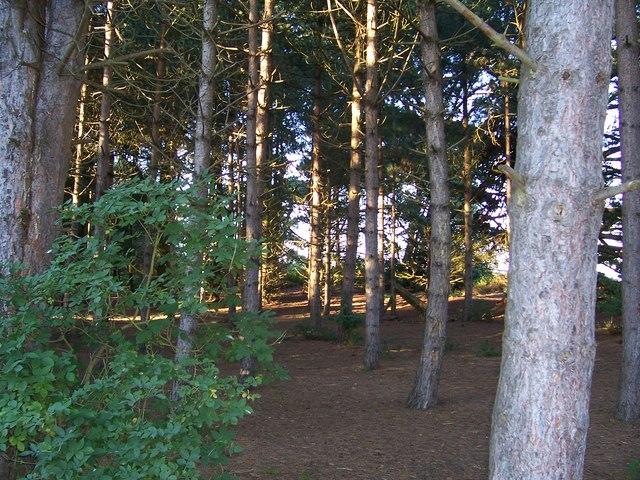 Sunlight in trees from Holkham Gap
