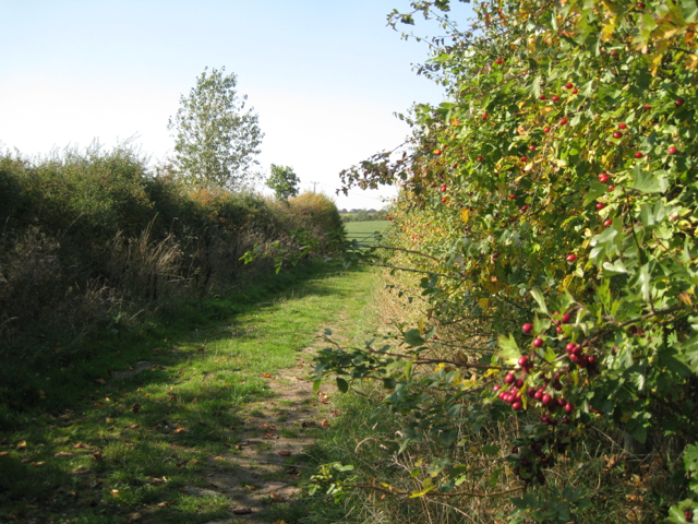 Footpath past a berried hedge