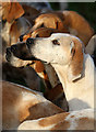 NT5930 : Foxhounds at the Buccleuch Hunt meet at St Boswells by Walter Baxter