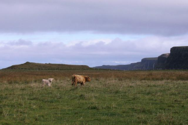 Cattle on Ardmore Peninsula