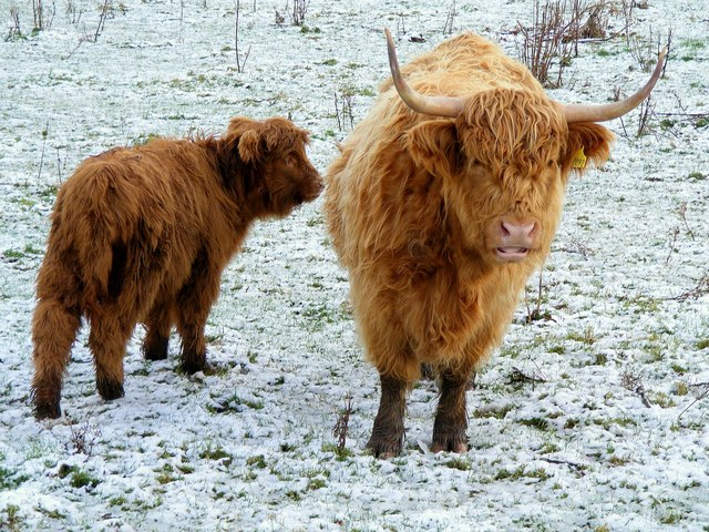 Highland Cow with Calf